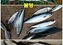 1|동해권|경북|고등어...포항영일 신항만 바다상황,조황.(신항만신신낚시)